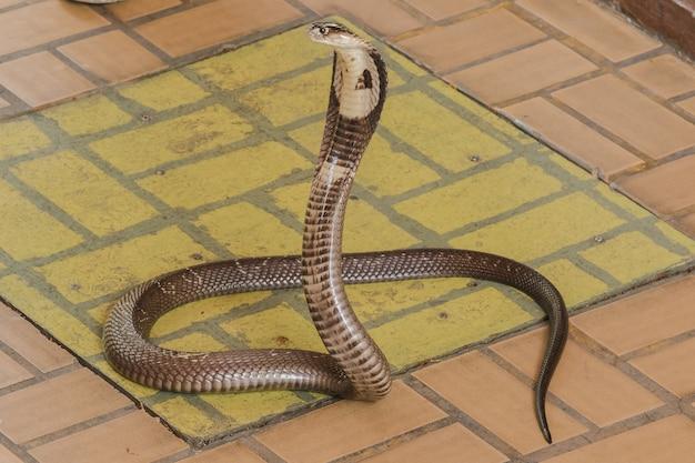 Kobra leży na podłodze jest średnim wężem jest jedna poważna trucizna.