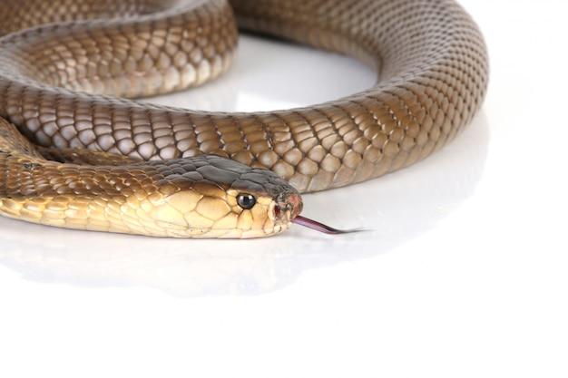 Kobra węża z bliska