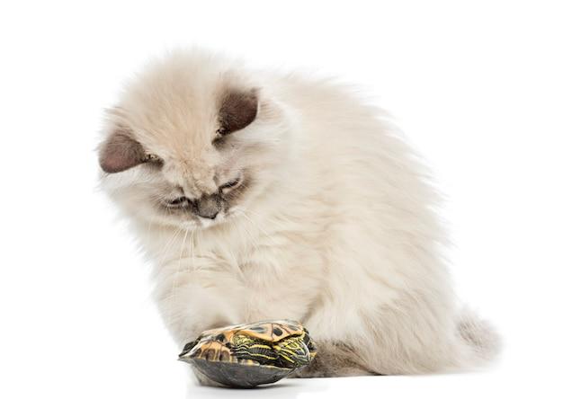Kociak brytyjski długowłosy, grając z żółwia suwak staw