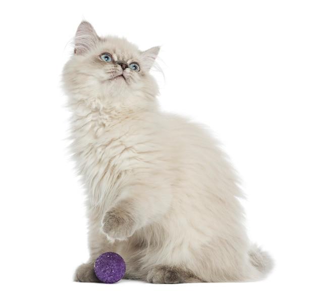 Kociak brytyjski długowłosy siedzi z piłką, patrząc w górę