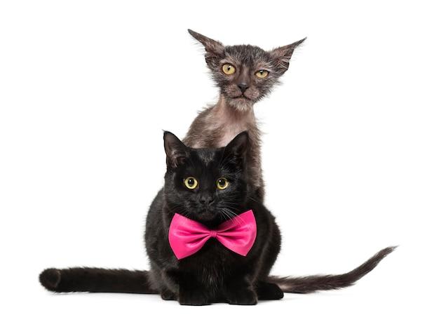 Kociak kot lykoi, zwany także kotem wilkołakiem, wpatrującym się w kamerę za czarnym kotem