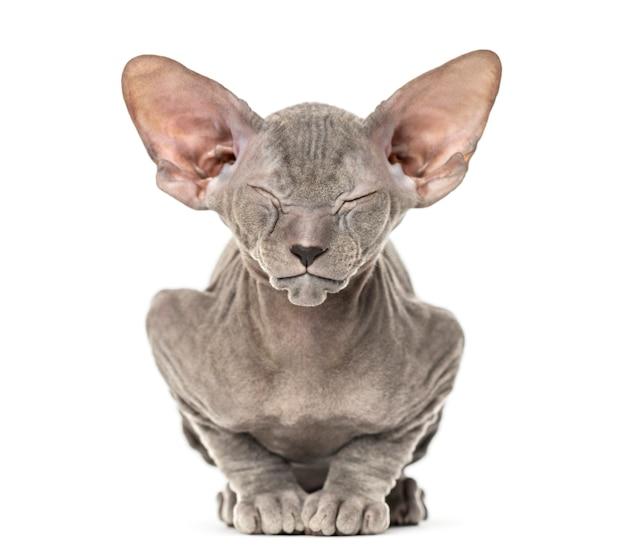 Kociak kot lykoi, zwany także kotem wilkołakiem