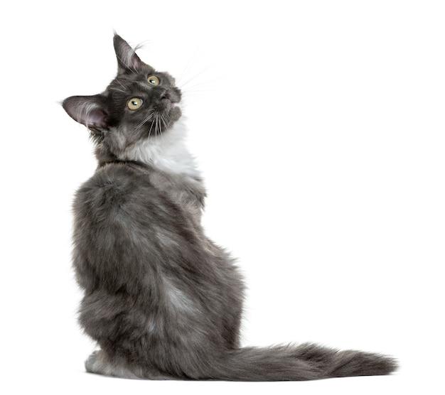 Kociak maine coon siedzi przed białą ścianą