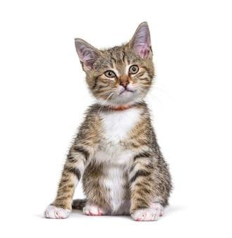 Kociak mieszaniec kot noszący obrożę na białym tle