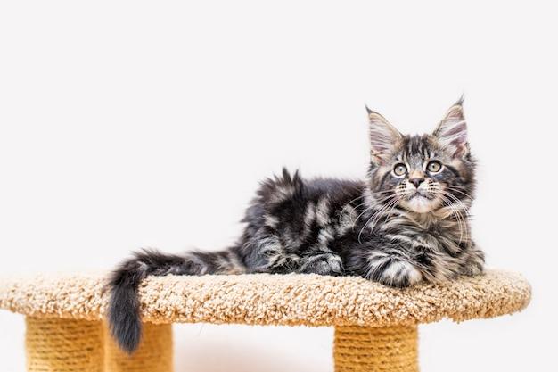 Kociak rasy maine coon z długim, puszystym ogonem, siedzący na drapaku pod jasną ścianą