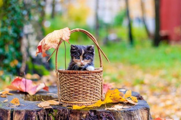 Kociak siedzi w koszu. kotek na spacerze jesienią. zwierzę domowe.