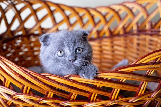 Kociak szkocki (brytyjski). portret dziecka, ładny szkocki fałd. siedzi sam w dużym koszu. kolor szary. zbliżenie, selektywna ostrość.