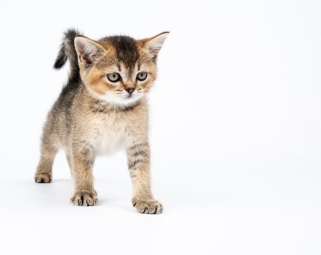 Kociak szynszyla brytyjska złoty tyknięty prosto. kot stoi na białym tle, kopia przestrzeń