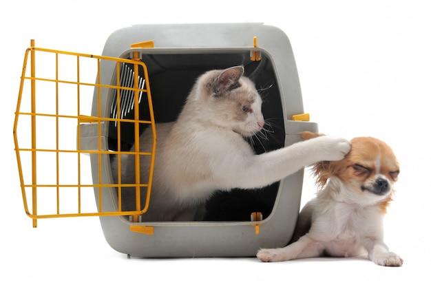 Kociak w nosidełku dla zwierząt domowych i chihuahua