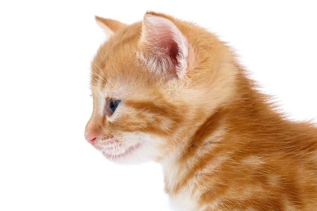 Kociak w paski kasztanowe na białej powierzchni
