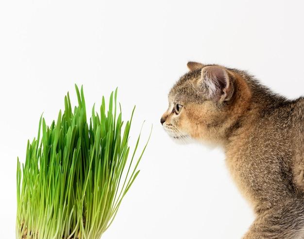Kociak złoty tyknięty szynszyla brytyjska prosto siedzi na białym tle, obok doniczki z rosnącą zieloną trawą