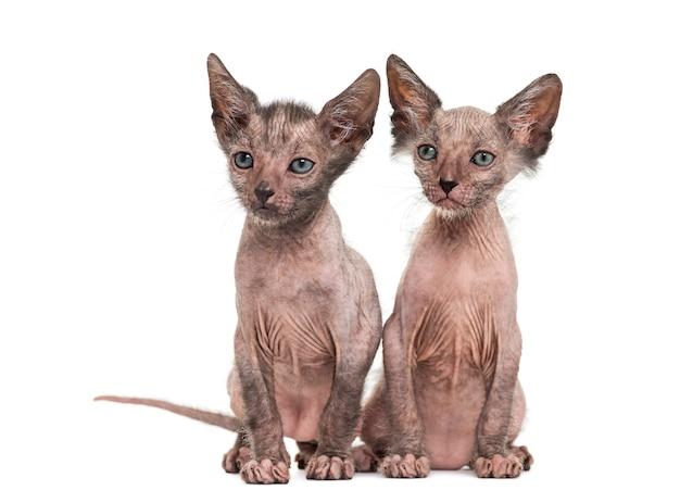 Kociaki koty lykoi zwane również kotami wilkołaków