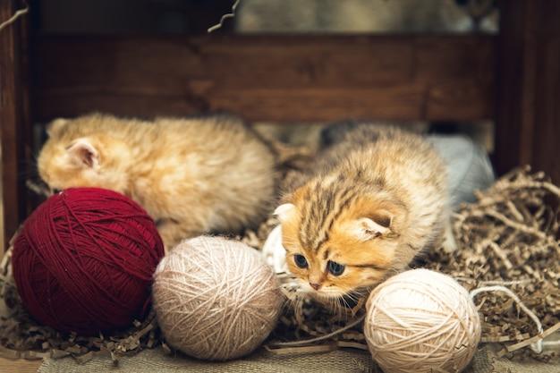 Kocięta brytyjskie krótkowłose bawią się kłębkami nici w drewnianym pudełku. styl rustykalny.