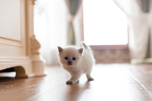 Kocięta brytyjskie krótkowłose srebrnego koloru stoją na drewnianej podłodze na środku pokoju