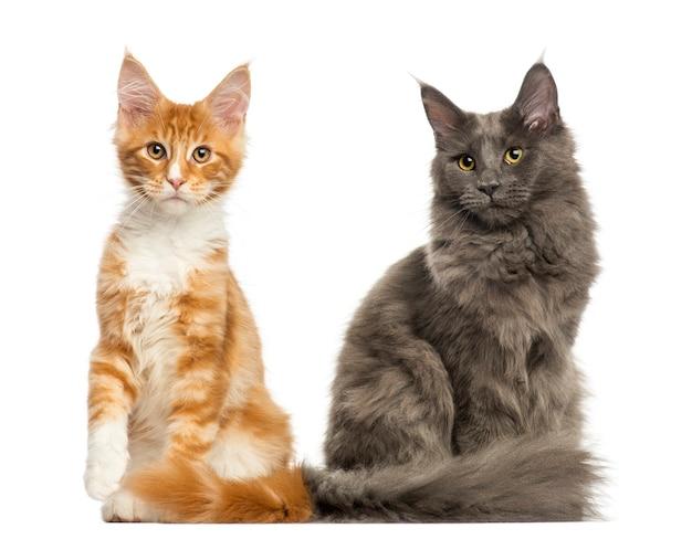 Kocięta maine coon siedzi razem na białym tle
