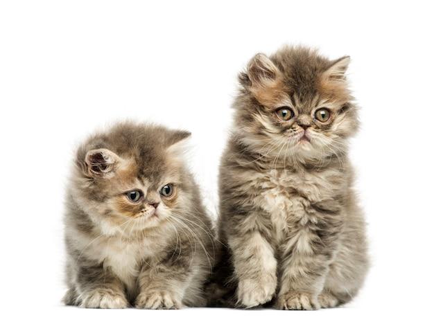 Kocięta perskie na białym tle