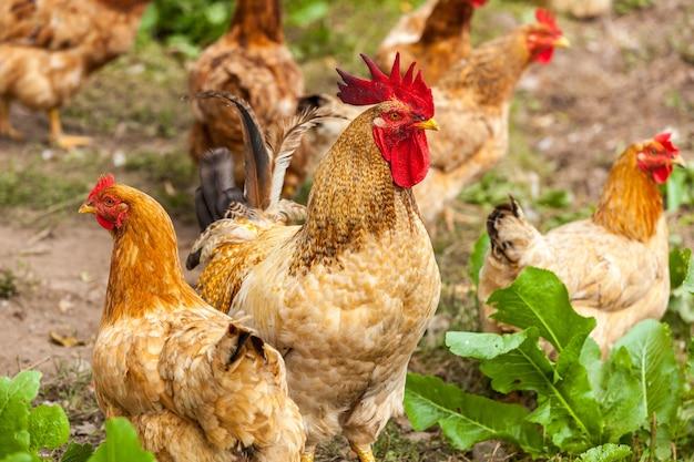 Kogut i kura w wiosce, żyjący kogut drób koguty pole trawiaste