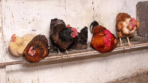Kogut i kurczaki na farmie w stodole. kurczaki hodowlane