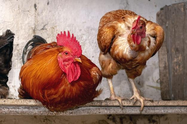 Kogut i kurczaki na farmie w stodole z bliska. kurczaki hodowlane