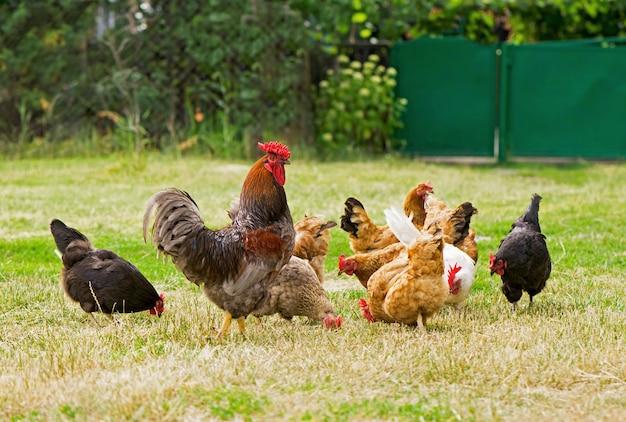 Kogut i kury pasące się na trawie.