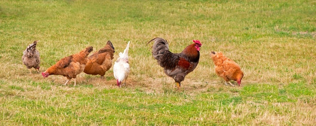 Kogut i kury pasące się na trawie