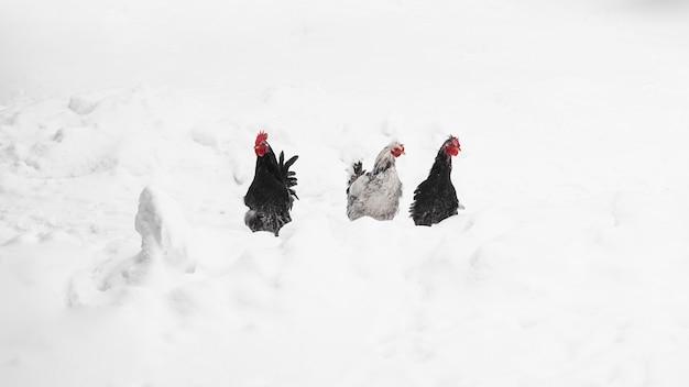 Koguty na tle zimy. zdjęcie na wsi. koncepcja gospodarstwa i zwierząt gospodarskich