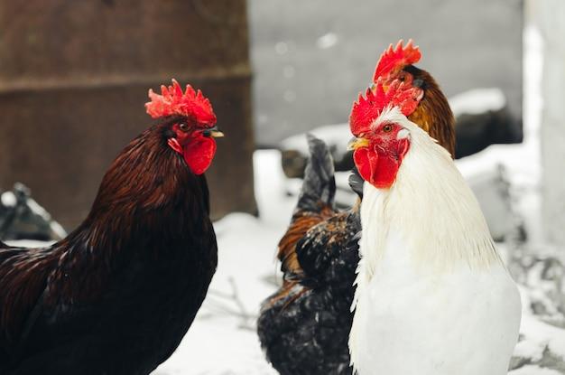 Koguty w wiosce z kurczakami w twoim otoczeniu