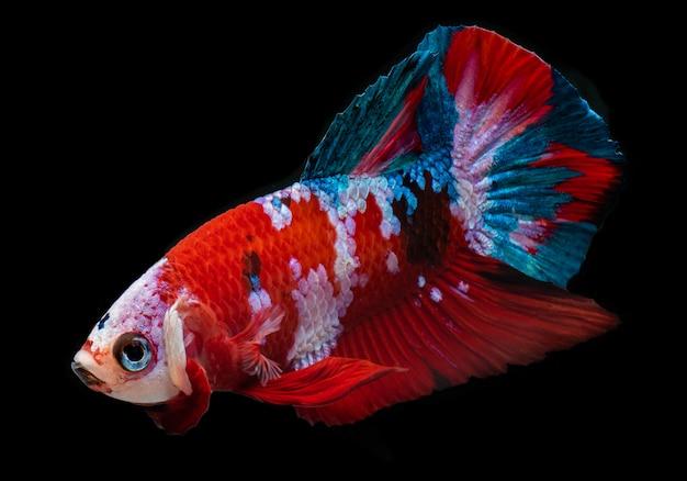 Koi galaxy fantazyjne ryby betta.