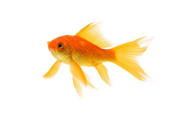 Koi goldfish pływanie na białym tle