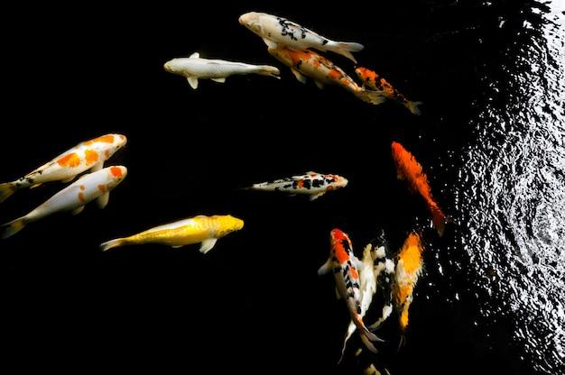 Koi pływanie w wodnym ogrodzie, kolorowe ryby koi, szczegóły kolorowe japońskie karpia pływające w stawie