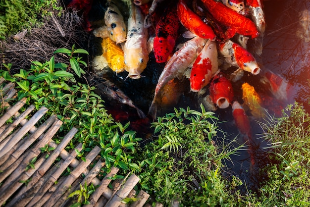 Koi ryba grupa pływanie.