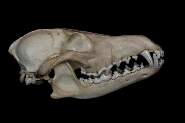 Kojot czaszka z dużymi kłami w zamkniętych ustach na białym tle na czarnej ścianie