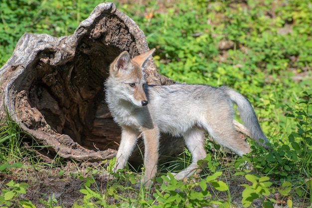 Kojot szczenię grający przed pustym dziennikiem
