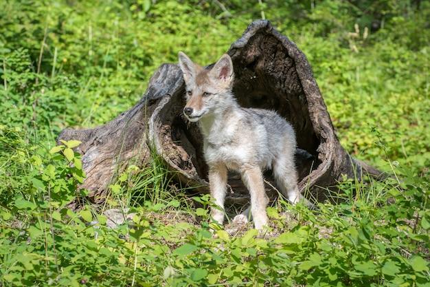 Kojot szczenię stojący przed pustym dziennikiem