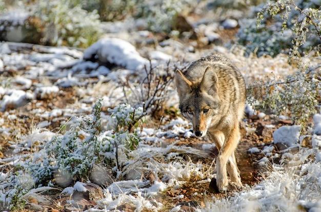 Kojot w lekkim pustynnym śniegu