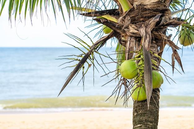 Kokos na drzewie na plaży.