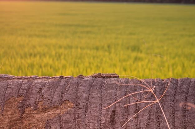 Kokosowy drzewo kłama puszek jako ławka nikt ryżowy pola plamy tło