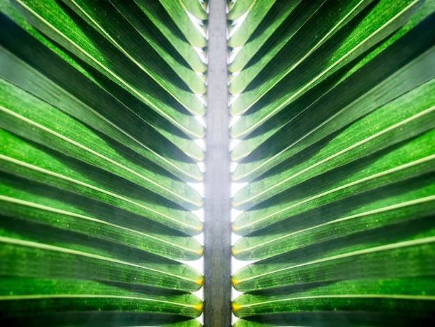 Kokosowy zielony liść z białym tłem