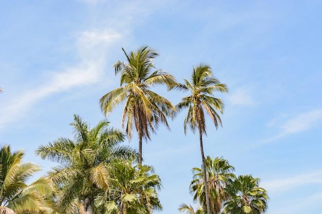 Kokosy i palmy z błękitnym niebem w tle