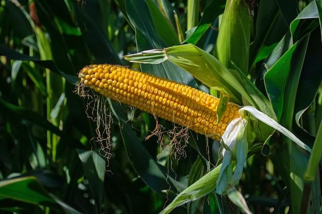 Kolby kukurydzy na polu nadziewanym ziarnami