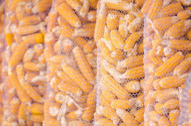 Kolby kukurydzy są suche w gospodarstwie