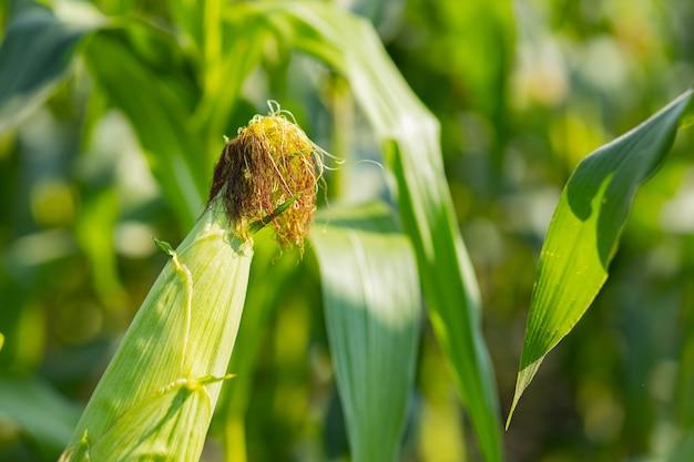 Kolby kukurydzy z zielonymi liśćmi wzrostu w dziedzinie rolnictwa. dojrzałe kolby kukurydzy w polu w słoneczny dzień. kukurydza na łodydze. skopiuj miejsce