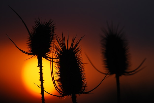 Kolce, suche rośliny o zachodzie słońca