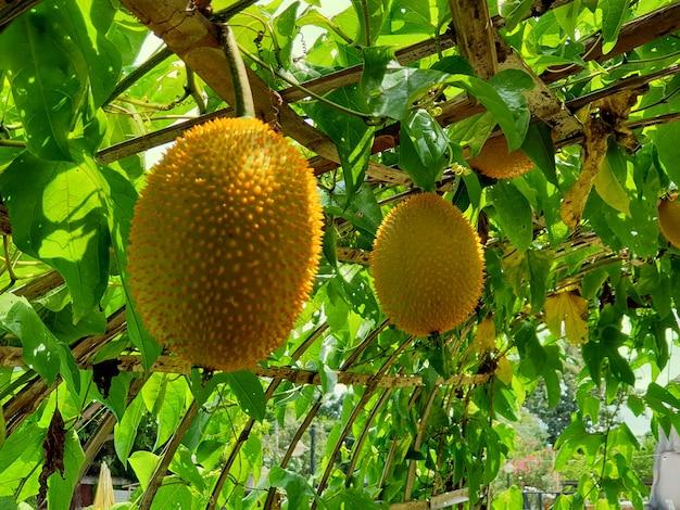 Kolczasta gorzka tykwa lub baby jackfruit w ogrodzie