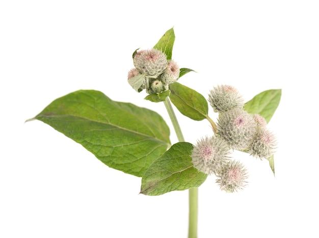 Kolczaste głowy lub kwiaty łopianu, na białym tle. lecznicza roślina ziołowa.