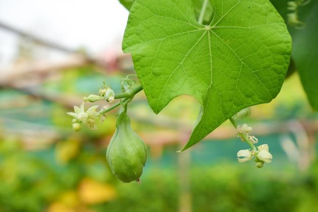 Kolczoch kolczasty (sechium edule), owoce zielone w ogrodzie, słodki smak, jego liście można jeść.