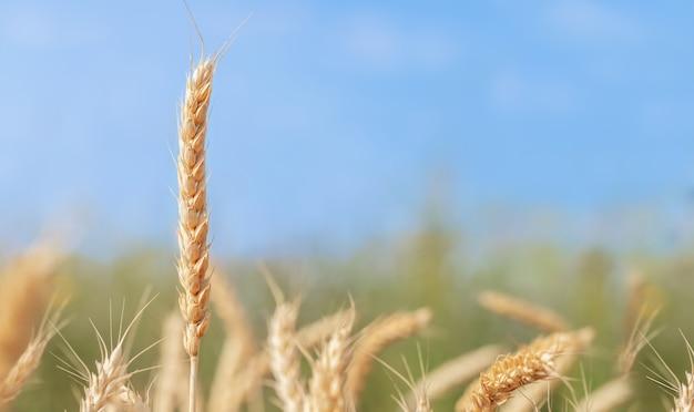 Kolec dojrzałej pszenicy na tle błękitnego nieba