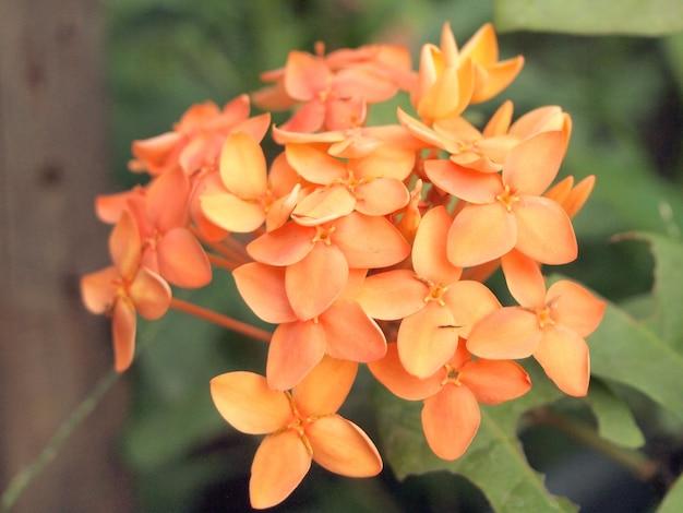 Kolec kwiatu pomarańczy
