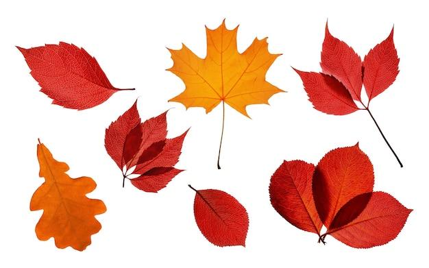 Kolekcja jasnych jesiennych przezroczystych liści na białym tle