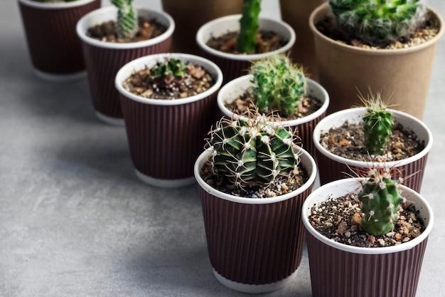 Kolekcja kaktusów i sukulentów w małych papierowych kubeczkach. dom i ogród